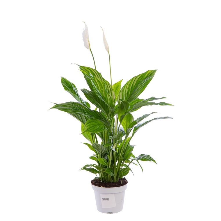 Spathiphyllum Sweet Benito pot Ø14 cm/ H55 cm 242888