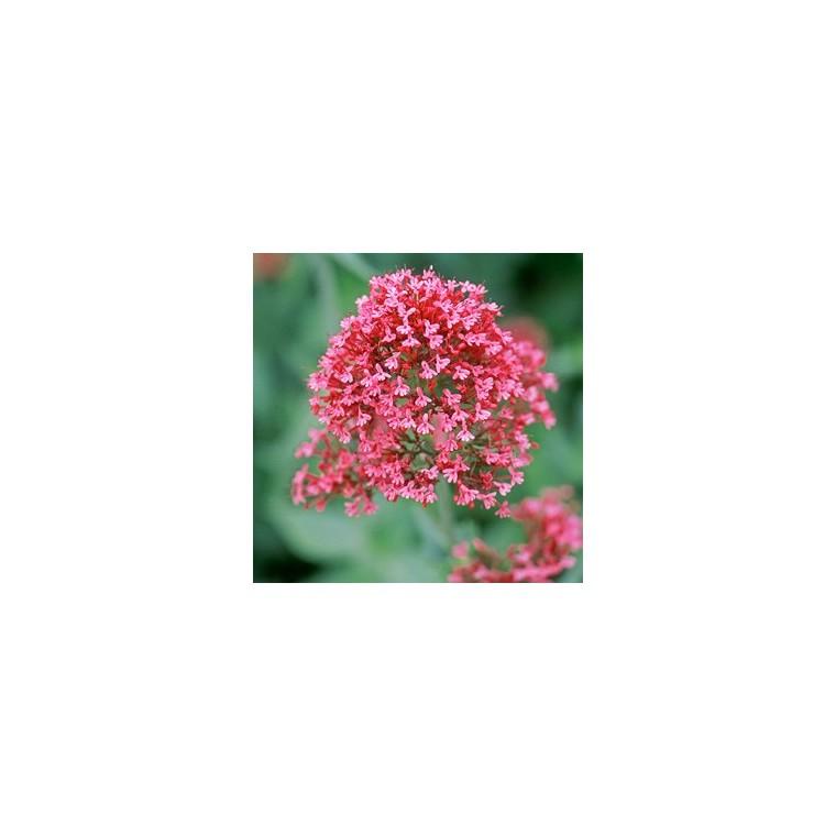 Valériane vivace rose en pot de 2 L 242892