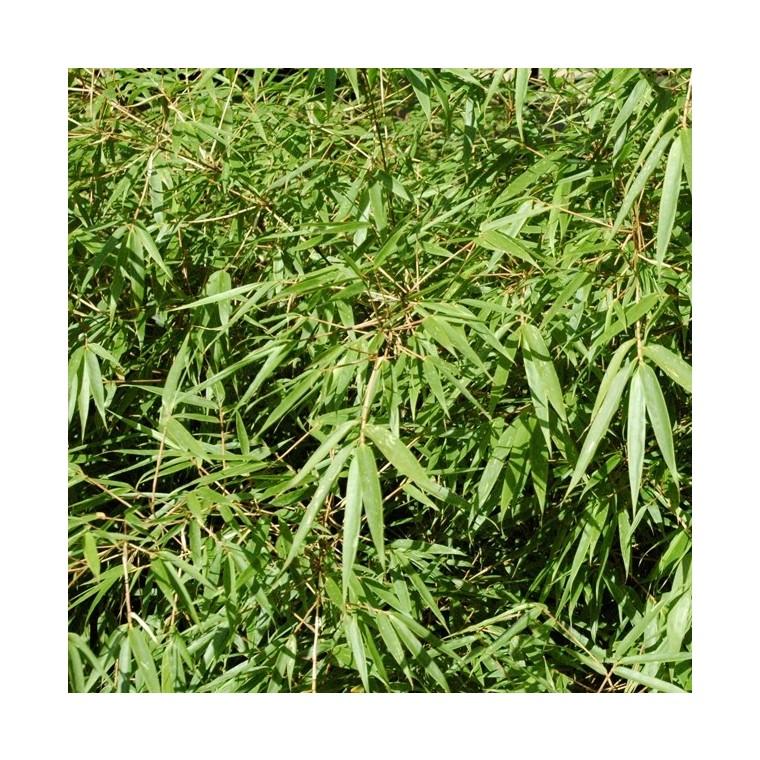 Bambou Fargesia Rufa vert en pot de 3 L 243826