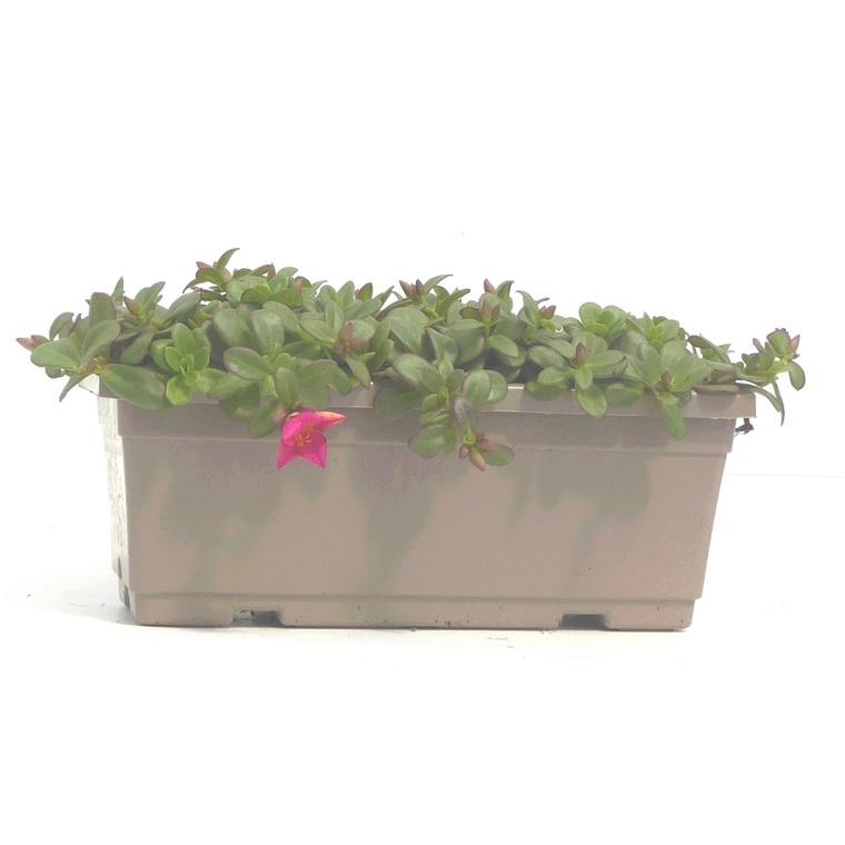 Pourpier à fleurs simples. La jardinière de 40 cm 245146