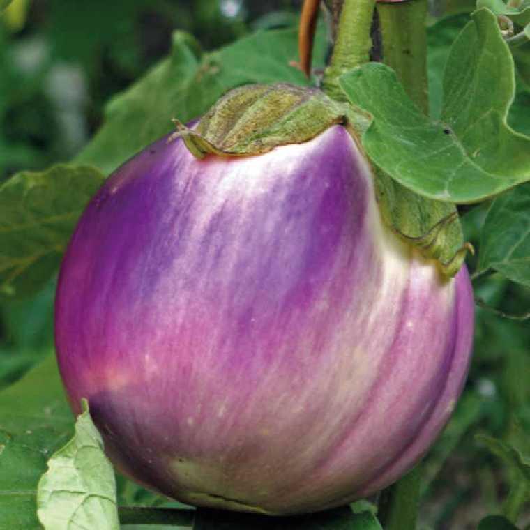 Aubergine Violetta Di Firenze bio. Le pot compostable de 10.5 cm 245203