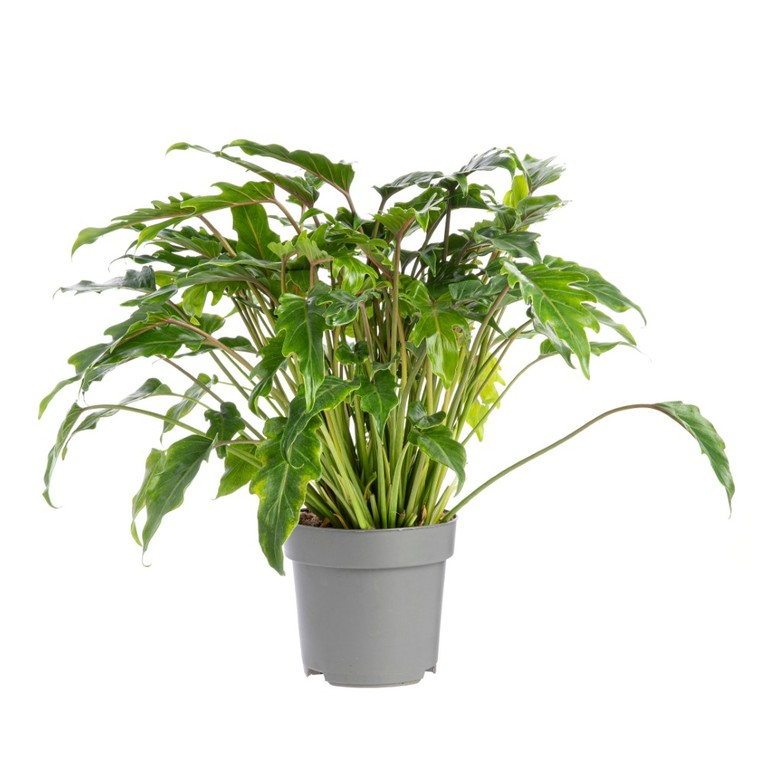 Philodendron Xanadu pot Ø21xH45 cm 245877