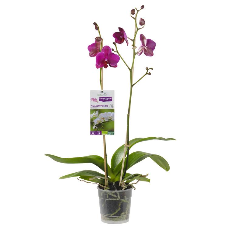 Orchidée Phalaenopsis bio 2 branches. Pot 12 cm 246476