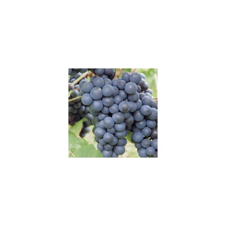 Vigne Muscat De Hambourg. Le pot de 5 litres 250490