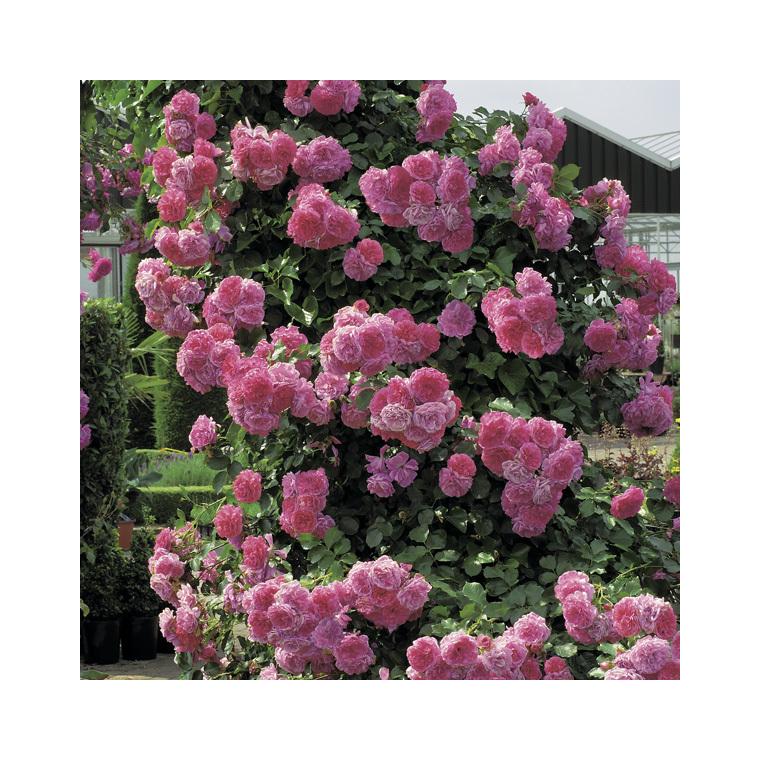 Rosier liane rose (ROSIER LIANE) Le pot de 3 litres 100% recyclé 250530