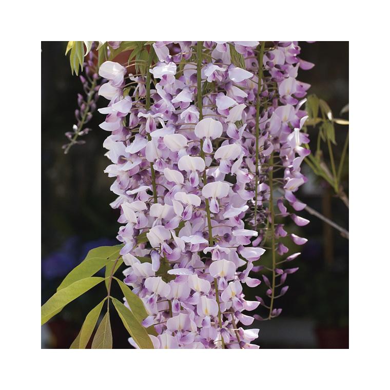 glycine du japon rose wisteria floribunda rosea le pot. Black Bedroom Furniture Sets. Home Design Ideas