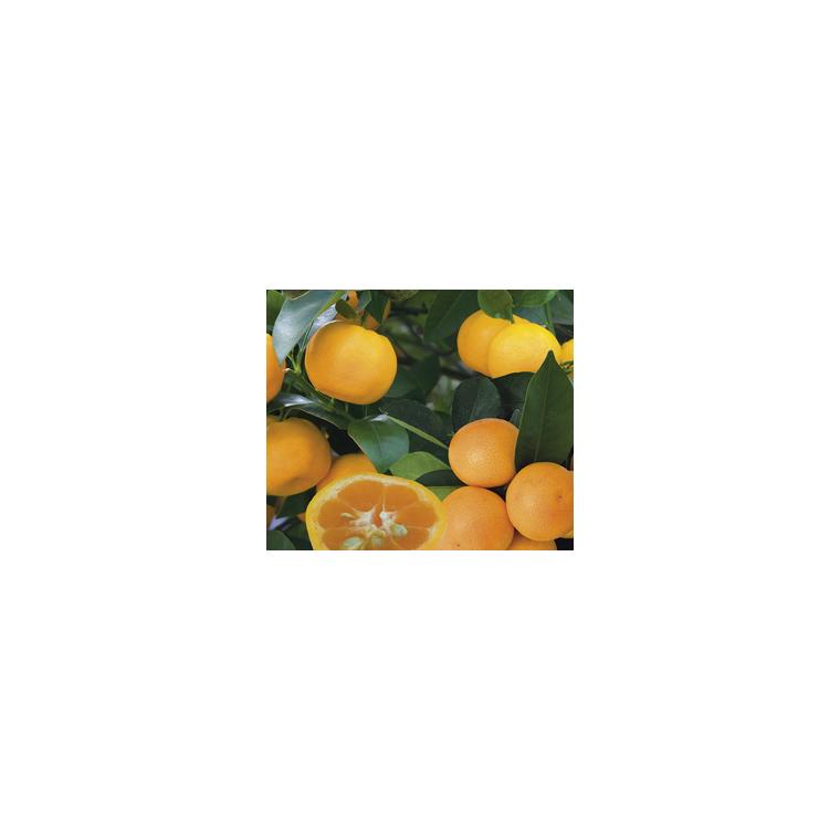 Calamondin Panaché en pot de 3 L Bio 255472