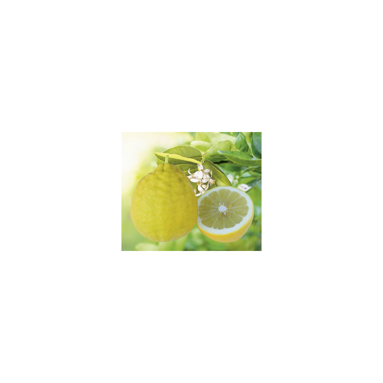 Citronnier de Padoue en pot de 3 L Bio 255478