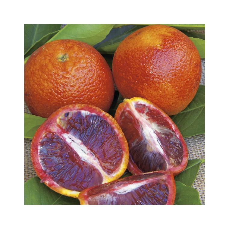 Oranger sanguine bio Le pot de 3 litres