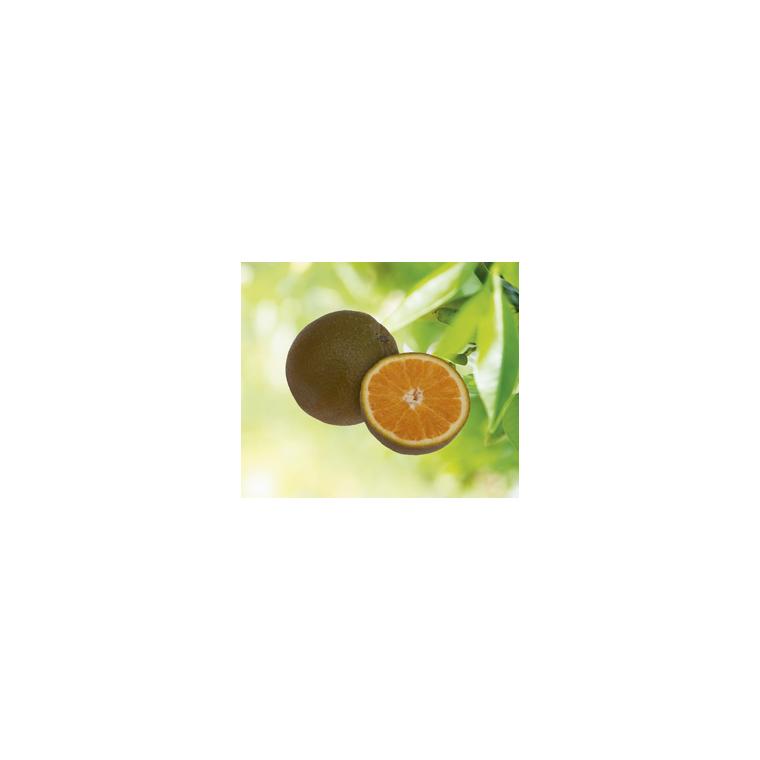 Oranger vert en pot de 3 L Bio 255488