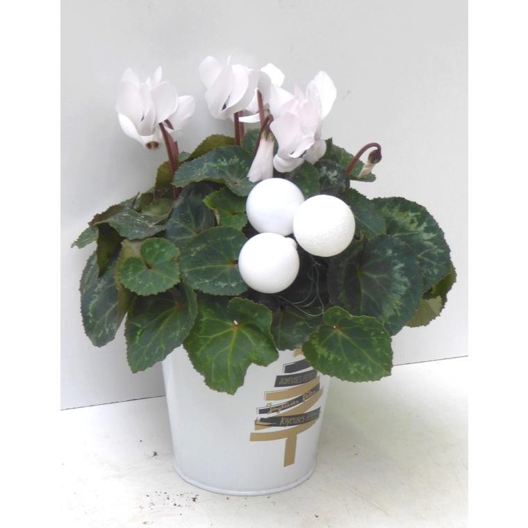 Mini cyclamen feuillage décoratif. Le Pot déco sapins 256032