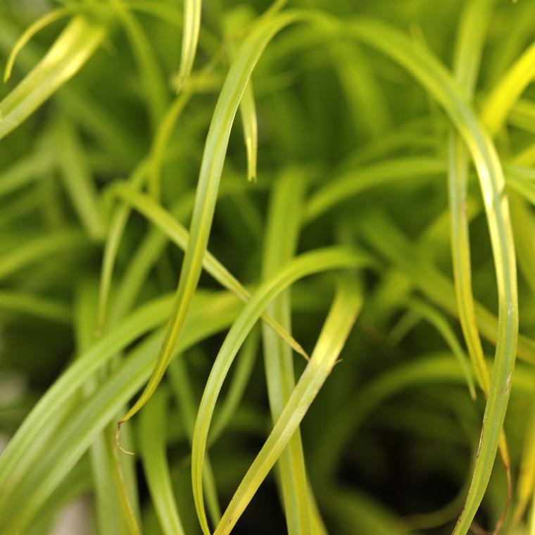 Bien-être animal Cyperus. Le pot de 12 cm