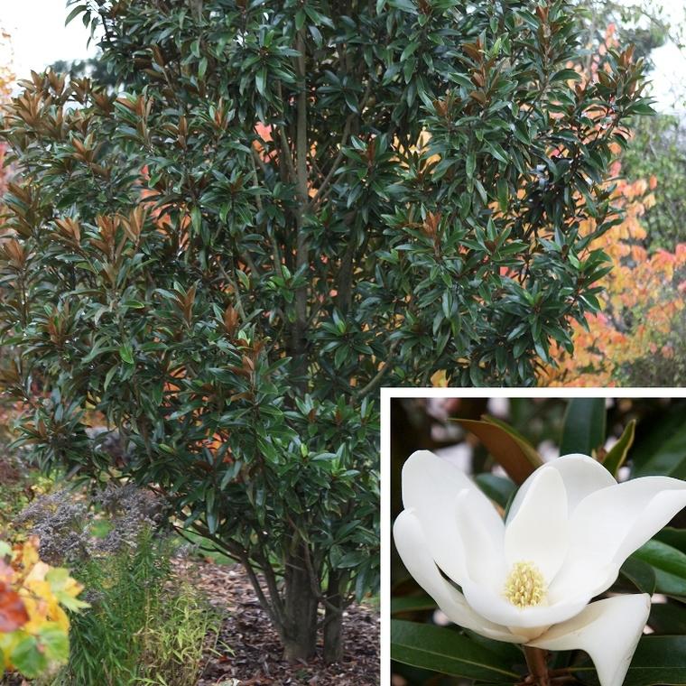 Magnolia Grandiflora Alta blanc en pot de 4 L 256797