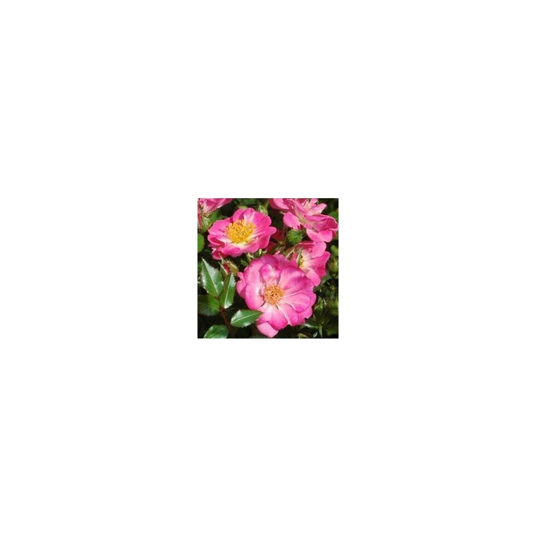 Mini rosier églantia multicolore en pot déco de 4 L 257509