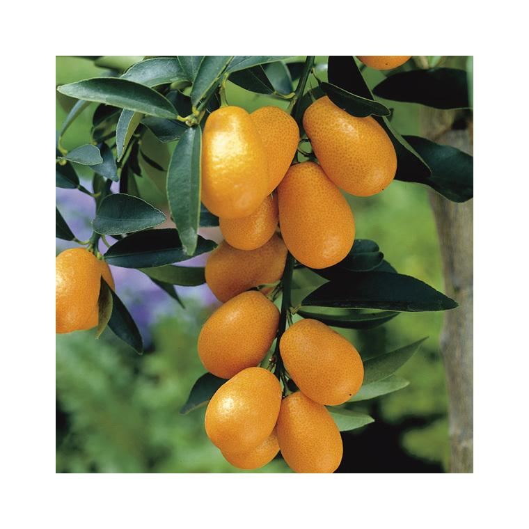 Kumquat bio. Le pot de 3 litres 257646