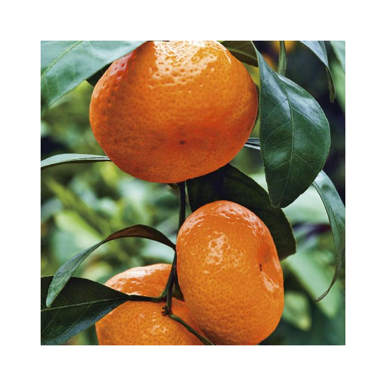 Mandarinier Satsuma bio Le pot de 3 litres 257705