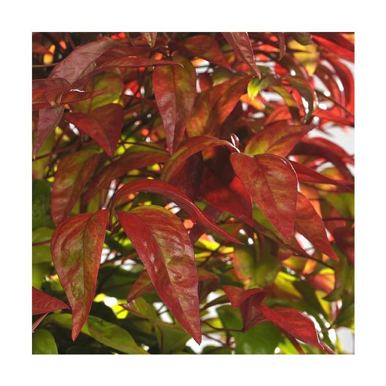 Nandina Tuscan Flame rouge en pot 257926