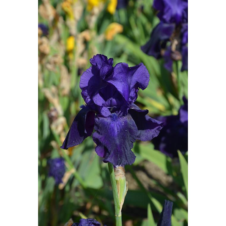 Iris Germanica Belle de nuit bleu en vrac