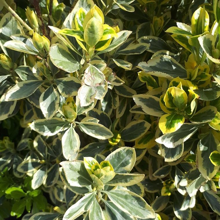 Euonymus Japonicus Bravo vert 90x120 cm en espalier en pot de 45 L 259047