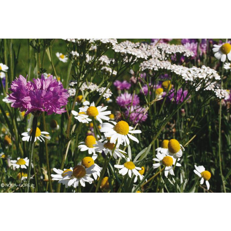 Fleurs mellifères sols arides et secs 260143