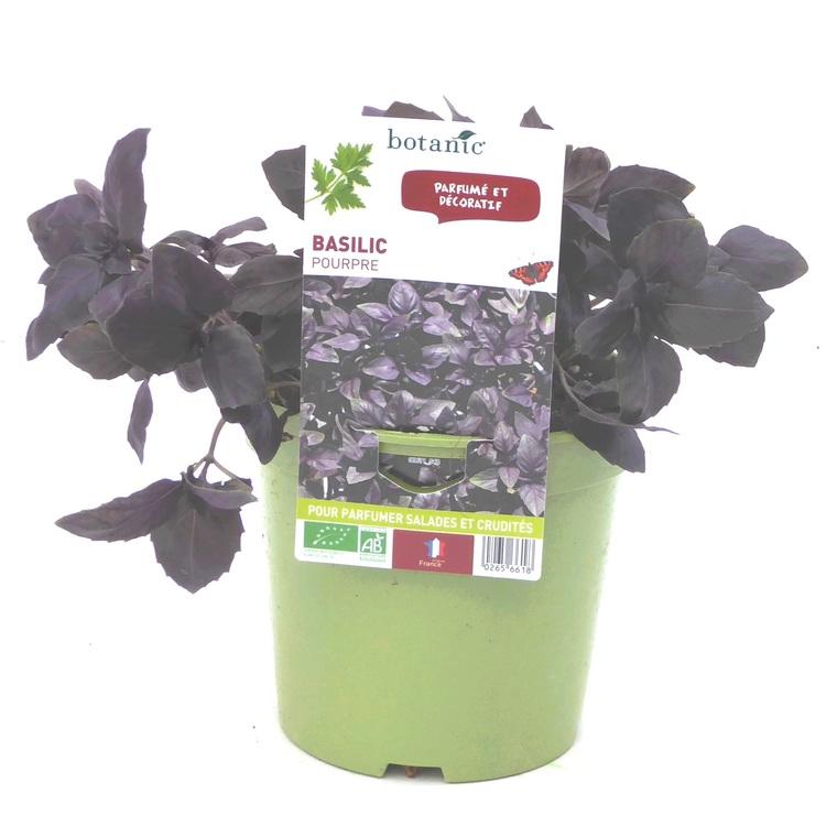 Basilic Pourpre. Le pot de 1 litre recyclé