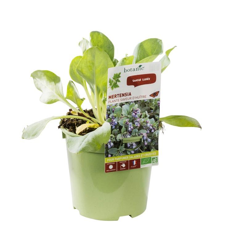 Plante Saveur Huitre bio. Le pot de 1 litre recyclé 265669