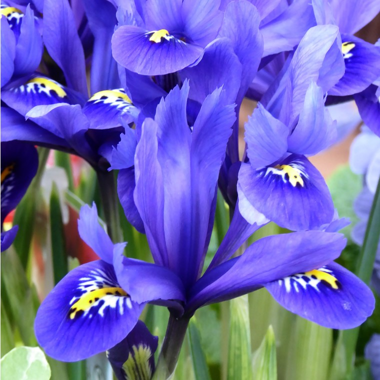 Iris Reticulata. Le pot de 1 litre 265694