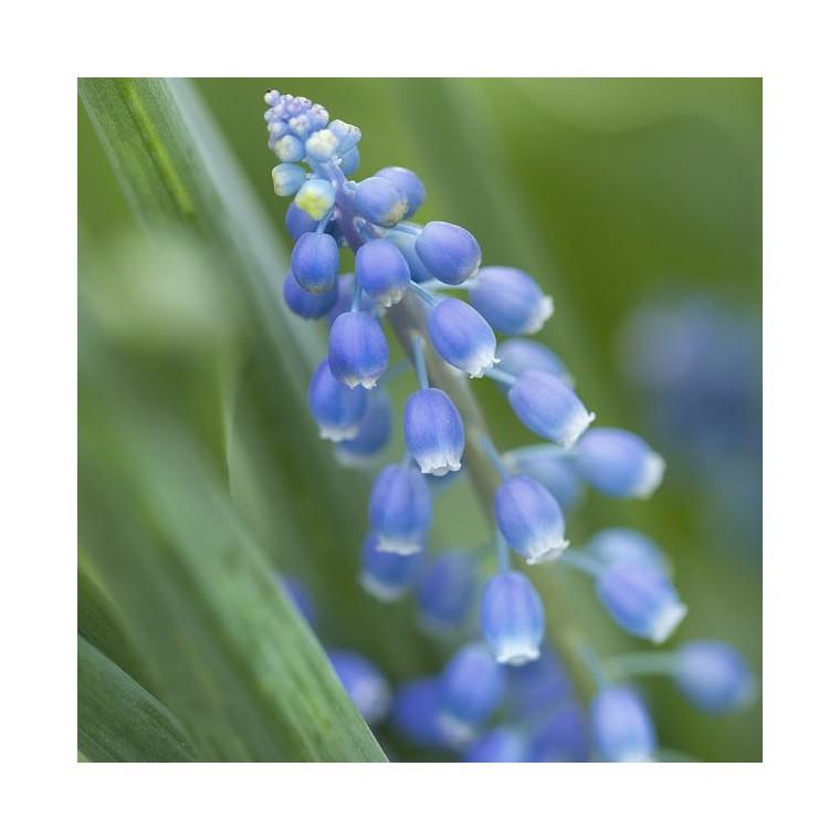 Muscari Blue Magic. Le pot de 1 litre 265696