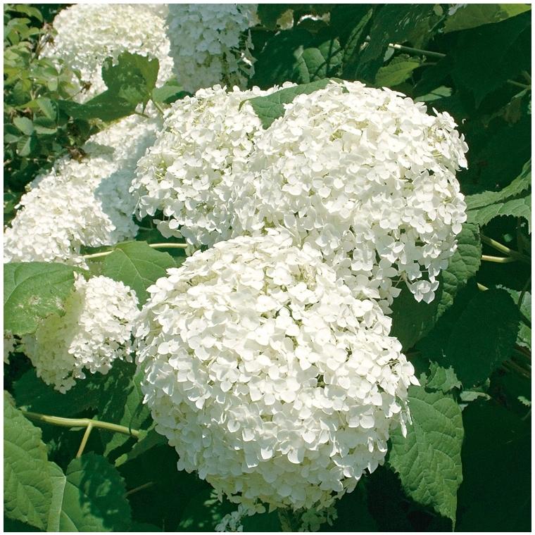 Hortensia Arborescens Annabelle - pot 10 L 265745