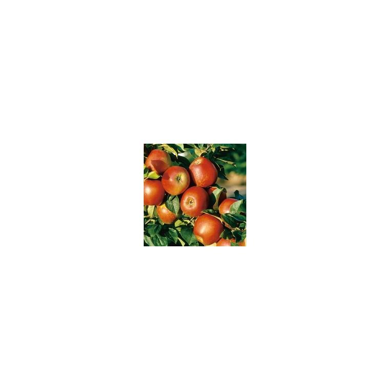 Pommier Delbard Jubile ®Delgollune forme 1/2 tige 273622
