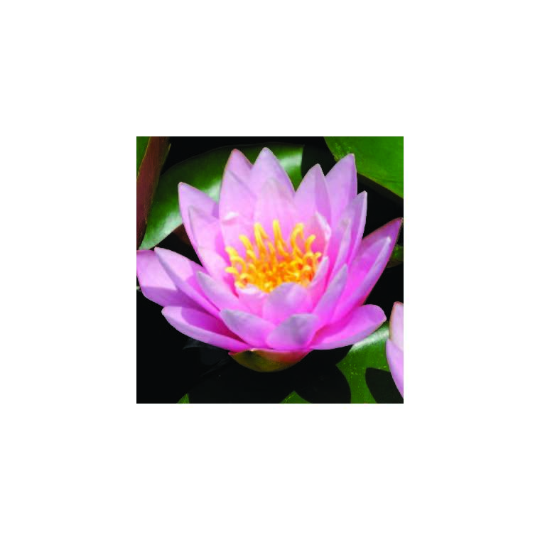 Nénuphar 3L rose 274225
