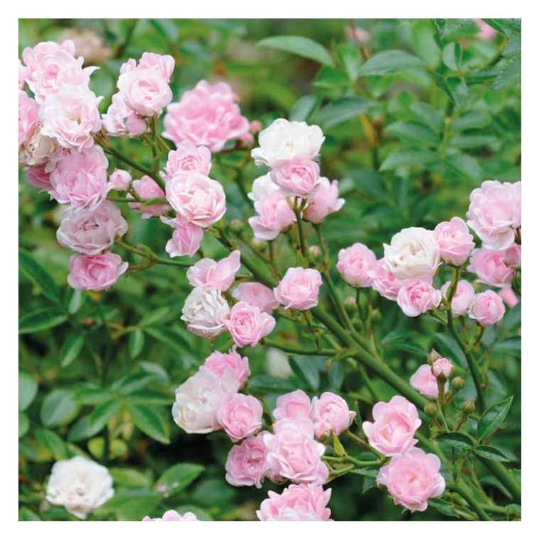 Rosier The Fairy rose en pot de 3 L 275374