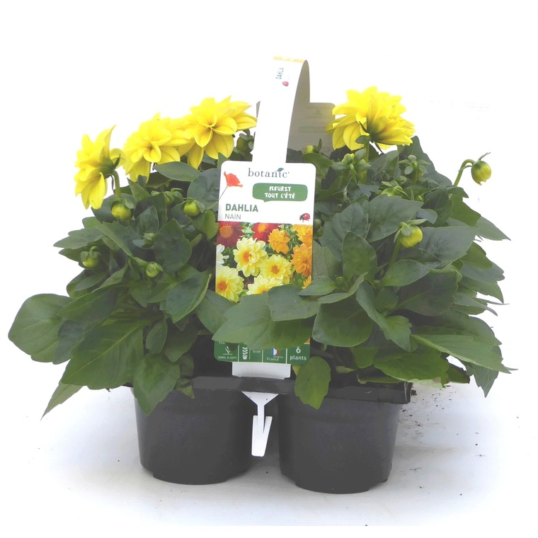 Dahlia nain. Le pack de 6 plants