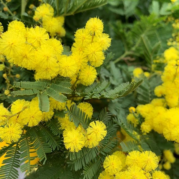 Mimosa (Acacia Dealbata). Le pot de 1,5 litres 275809
