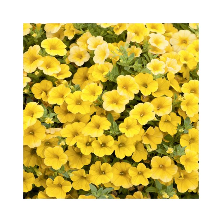 Calibrachoa duo orange & jaune. Le pack de 6 plants 275870