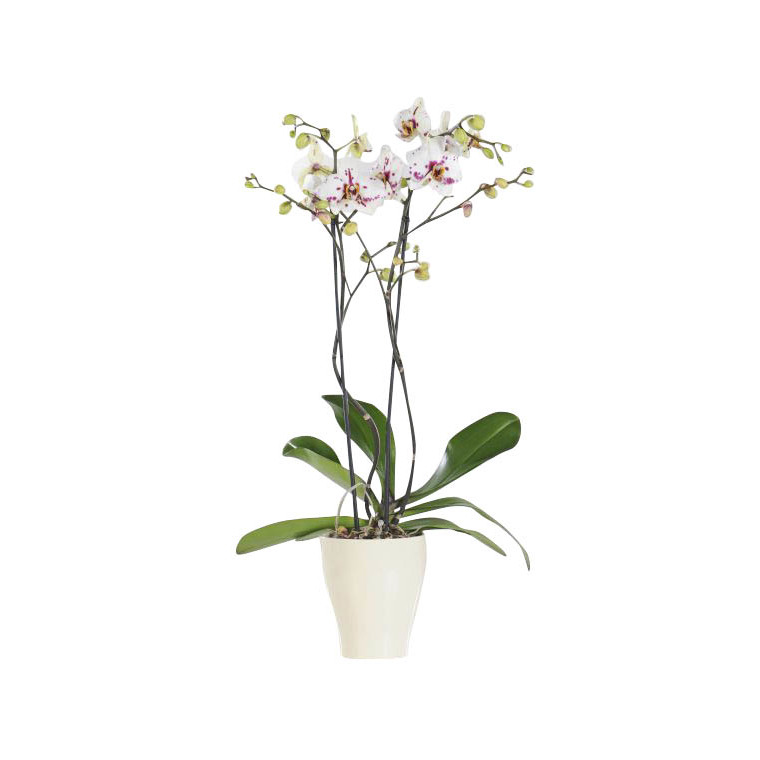Phalaenopsis collection blanc 2 br. Pot 12 cm 276362