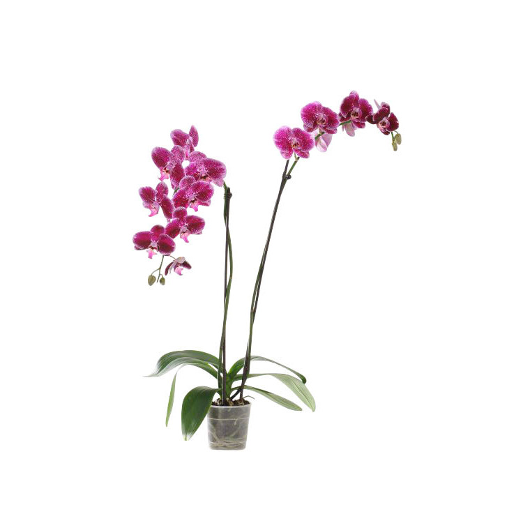 Phalaenopsis collection rose foncé 2 br. Pot 12 cm 276364