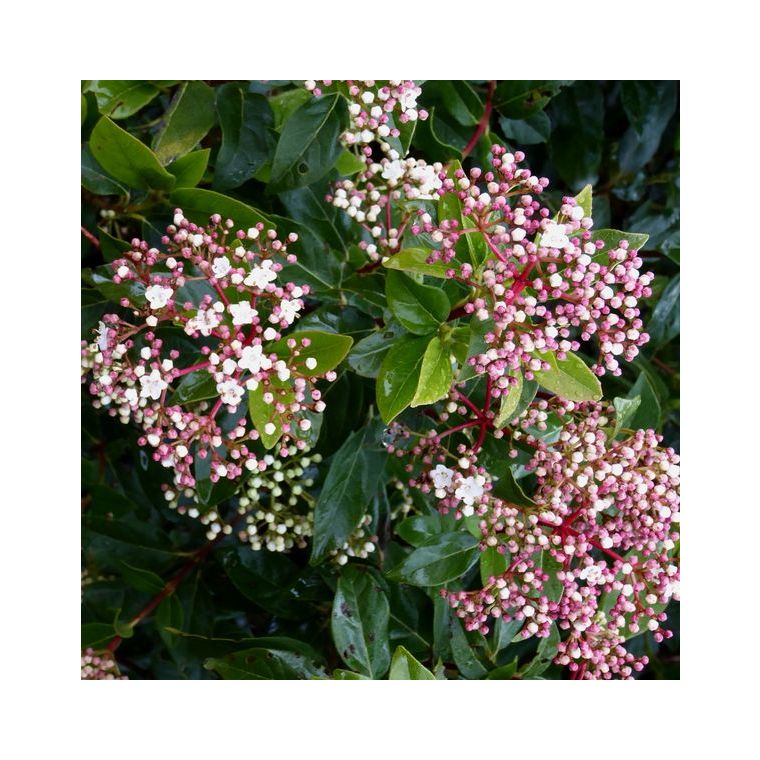 Laurier-tin Viburnum Tinus Lisa Rose en pot 277188