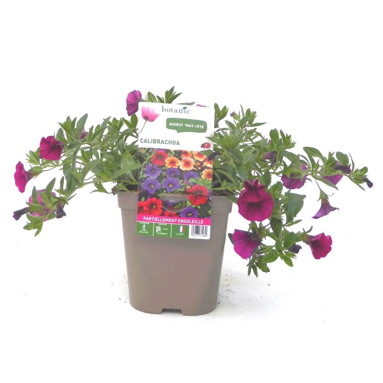 Calibrachoa. Le pot de 12 x 12 cm