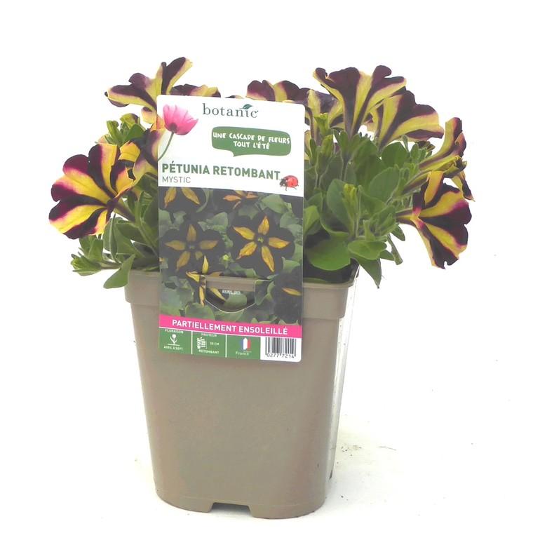 Pétunia retombant bicolore. Le pot de 12 x 12 cm