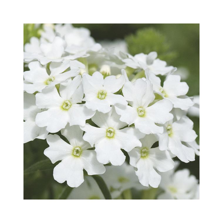 Verbena Tapissante Blanche. Le pot de 9x9 cm 278104