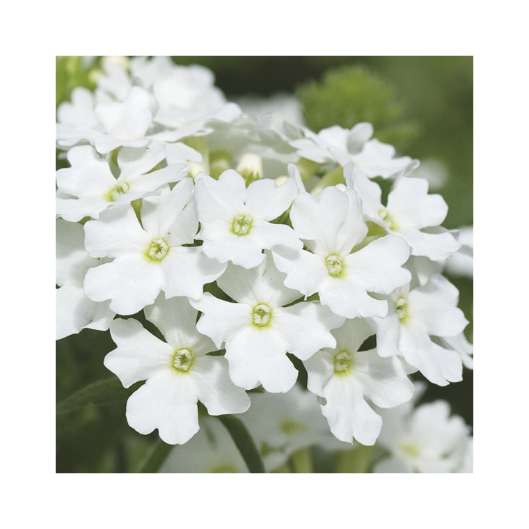 Verbena tapissante blanche en pot de 9 x 9 cm 278104