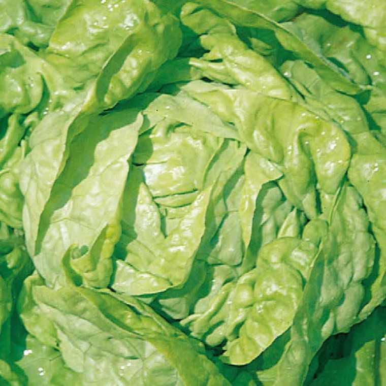 Laitue Merveille D'Hiver Verte bio. La barquette de 12 plants 278585
