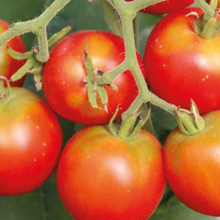 Tomate ronde Précoce De Quimper bio. Le pot compostable de 10.5 cm 278600