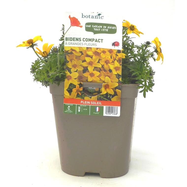 Bidens Compact Grandes Fleurs. Le pot de 12 x 12 cm 280536