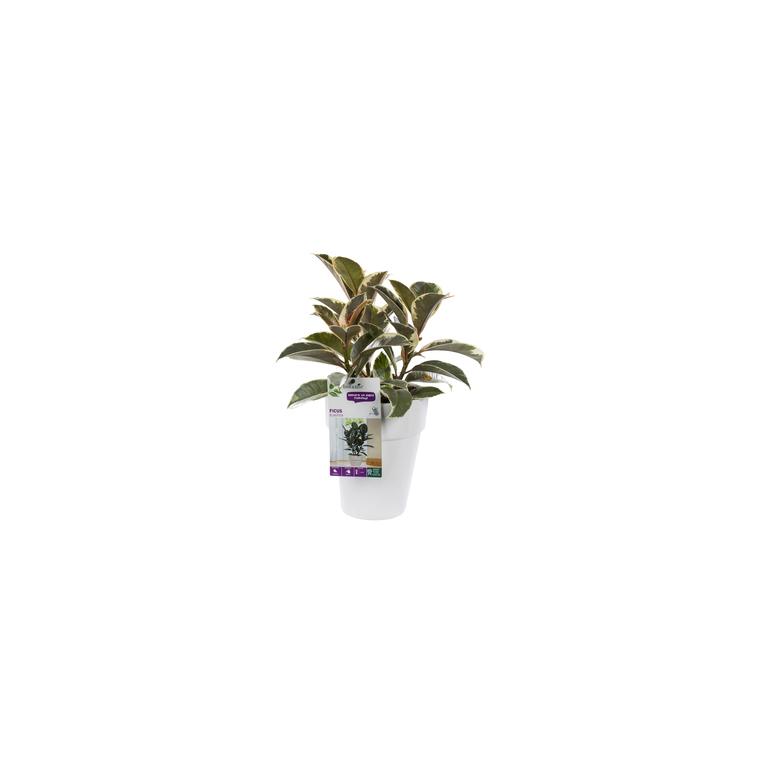 Ficus elastica. Le pot de 15 cm 282853