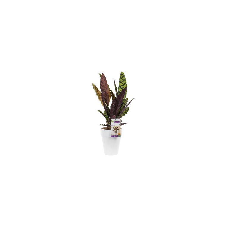Calathea lancifolia. Le pot de 18 cm 282859