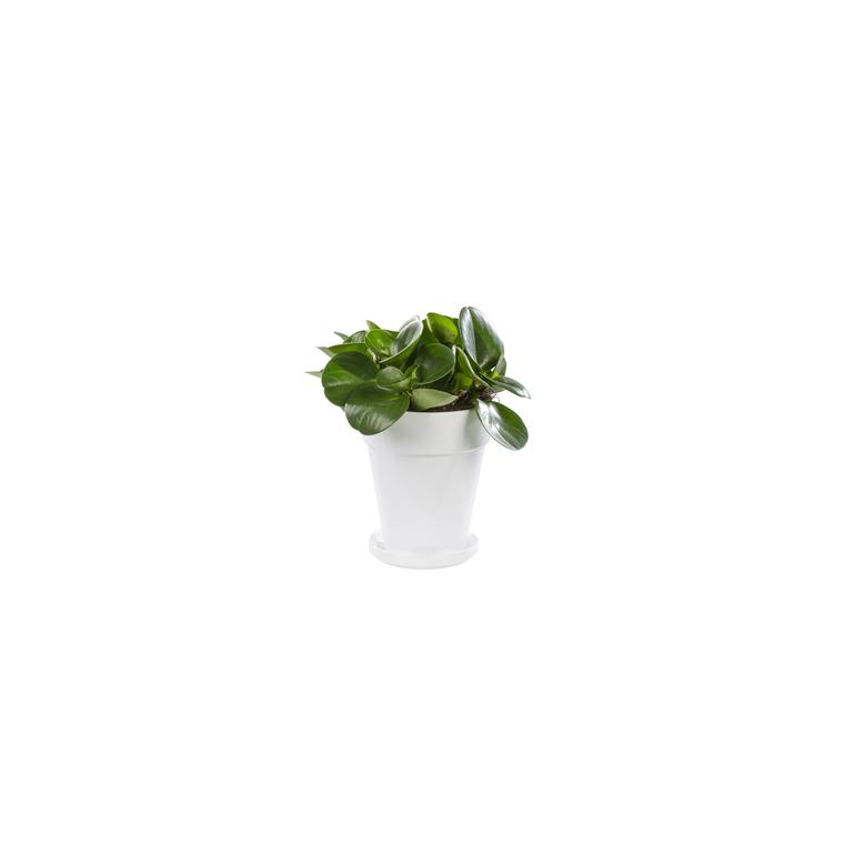 Peperomia obtusifolia green gold. Le pot de 18 cm 282863