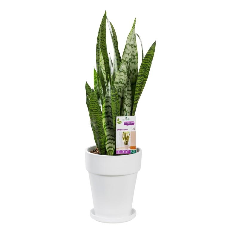 Sansevieria zeylanica. Le pot de 18 cm 282866