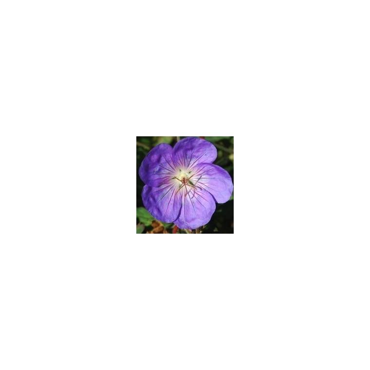 Géranium vivace. La coupe de 25 cm 283280